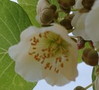 このキウイの花は雄花ですか? 雌花ですか?