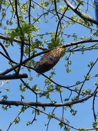 木の枝に付いていた繭のようなもの、これがなんなのか気になっています。 ご存知の方教えてください。 もう一枚写真を添付したいのですがわからないのでもう一件質問します。 よろしくお願い致します