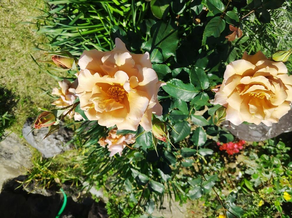実家に咲いている薔薇の名前が分かりません。どなたかこの薔薇の名前が分かる方 名前を教えてください。よろしくお願い致します。
