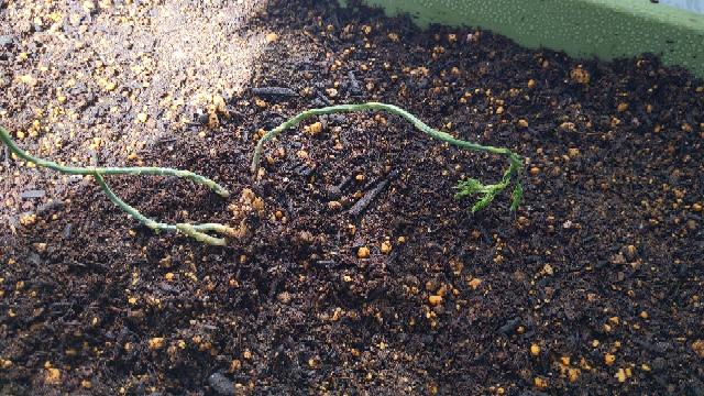 最近アスパラの苗を植えたのですが、3日目で葉がしおれてきました。 昨日の雨が原因でしょうか。