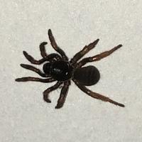 家でぬりぬりと動く10本足の蜘蛛を見つけました。 調べてもあまりヒットしないのですが、何て蜘蛛でしょうか? イエグモより一回り大きく、体はゴキブリやムカデのような濃い茶色で、足の動かしか方が普段見る蜘蛛と違ってぐにゃぐにゃしてすごく気持ち悪かったです。