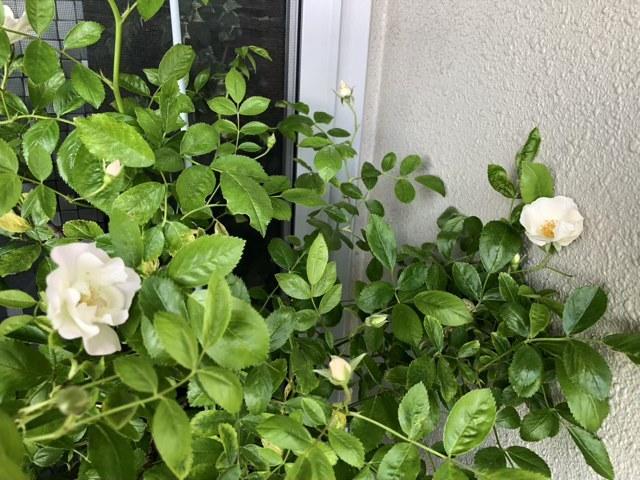 この薔薇の名前を教えてください。 2月末に、ほとんど葉が落ちて、新芽が出始めた状態でホームセンターの処分品コーナーにありました。 モッコウバラかと思っていましたが、花が咲いたらつるバラのようです。 ・高さ170cm横幅120cmほどあります。 ・品種名が分からない状態で、売り場の人も「多分バラです」と言っていましたが、樹には棘らしいものはほとんどありません。葉の周りには少しあります。 ・枝葉の重みで自立できないほど幹が柔らかいです。 ・蕾周りがすぐにうどんこ病にかかりました。 ・葉のつき方はバラのように5枚ですが、色も薄く、細長くて柔らかく、パッと見バラの葉とは思えません。 ・房咲きではなく、一般のつるバラのように独立した花が点々とついています ・咲いてみたらマチルダにそっくりです、花の大きさは5cm以下です。
