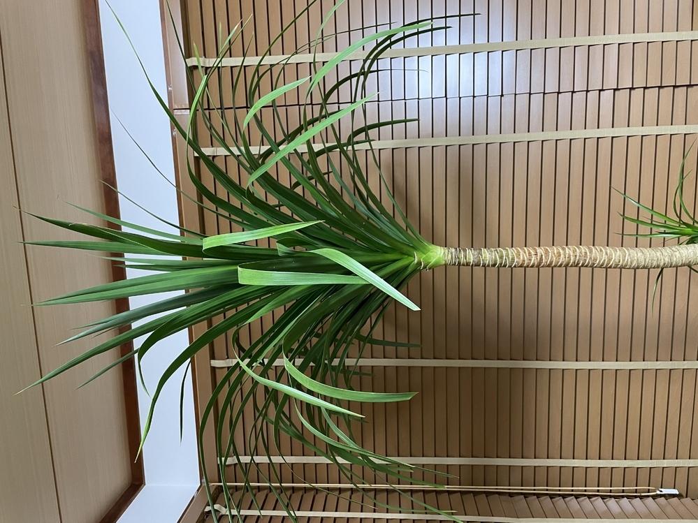 この観葉植物の名前を教えてください