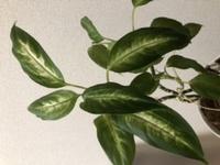 観葉植物の名前が分からないです。 教えてください。 いつまでも細いです。