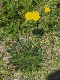 キク科の花でいくつか質問があります。 これはブタナでしょうか?