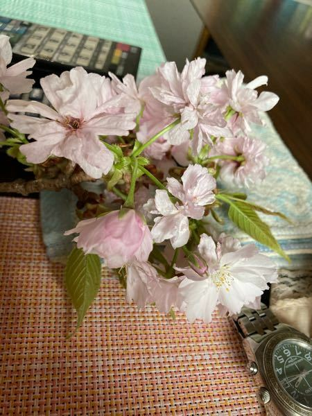 この花(木?)の名前はなんですか? 木の高さは7〜8メートルくらいです。 一つの花に花びらが20枚くらいついていて、他の桜より1週間くらい遅く咲きます。