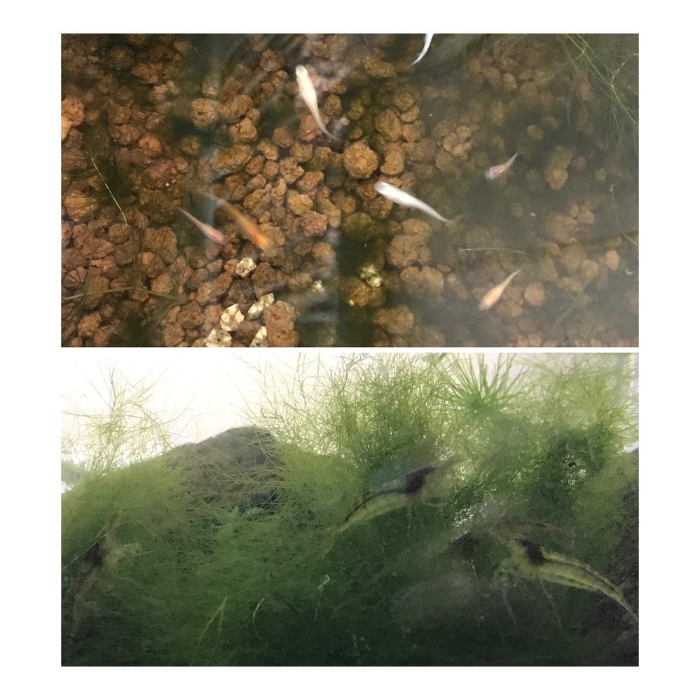 丸くないマリモ?!(アオミドロではない) メダカとエビを飼っていますが、底の赤玉に緑の藻?苔?のようなものがどんどん増えています。アオミドロのように富栄養化でできたのもではなく、硬めのしっかりした糸状で、細いウィローモスみたいです。害はないと思うのですが、調べても出て来ず、なんなのか気になります。 マリモを解いたような感じです。まさかマリモじゃないですよね? エビさんがすごく気に入っていて、水槽に入れてみました。