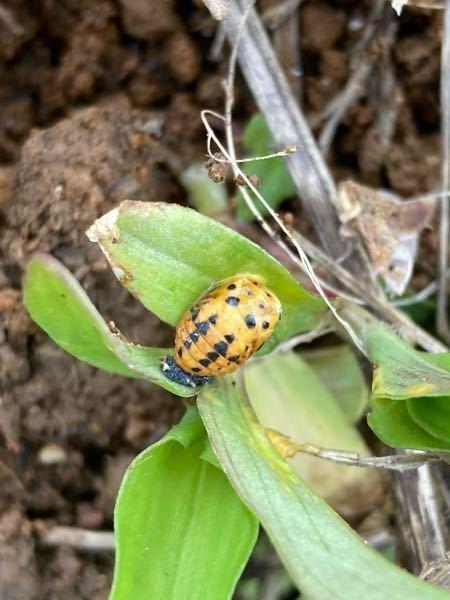 この虫(幼虫?)の名前を教えてください。 雑草にとまっていました。 てんとう虫の幼虫…でしょうか?
