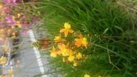 近所の道路脇に咲いていた花です。 鮮やかな黄色?オレンジ?で小さくて可愛らしい花で種類を知りたいのでご存知の方、教えていただけますか。
