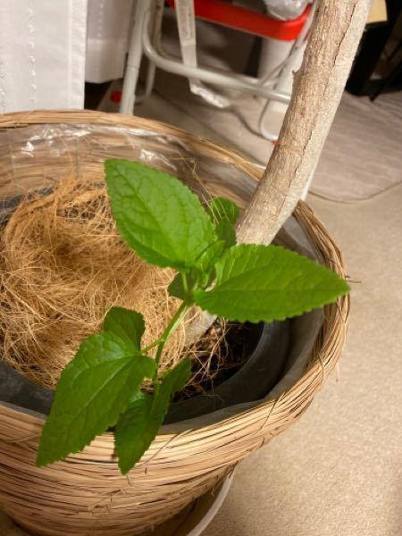 家に置いてる観葉植物の根元からこんなのが生えてきたのですが、雑草ですか? 抜いていいのか迷っています(´・ω・`)