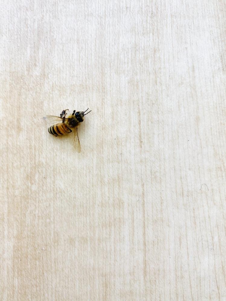 これはセイヨウミツバチでしょうか? 家の中に7匹侵入していました。
