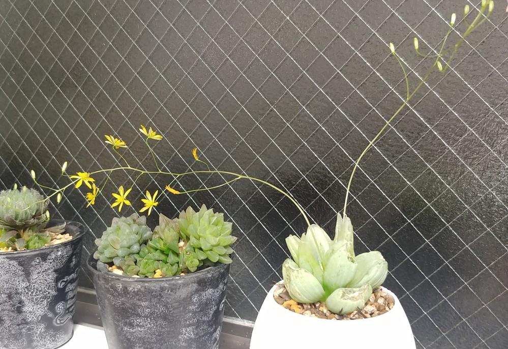 購入した鉢植えの名札を紛失し、種類が分からなくなってしまいました。 手前の黄色い花が咲いている鉢です。 ハオルチアだと思うのですが、葉は1枚100円玉くらいの大きさがあり、表面は少しフサフサして...