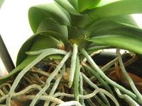胡蝶蘭は葉や花からも水分(湿気)を摂ると聞きました、因みに根は自分ん支えるだけの役割?(苔でいう仮根)とも聞きました。 では根・花・葉の中で1番水分を吸収するならどれですか??