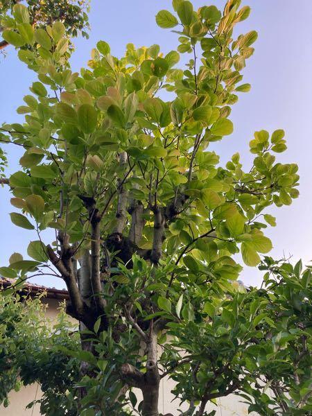 これはなんという木ですか?