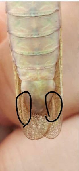 カマキリのお尻に付いているこれは何ですか? あと なんかゴキブリとかにも似たのありますけど同じやつですか? 知ってる方よろしくお願いします。