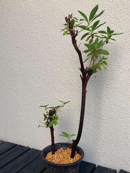 以前ヒラドツツジの強剪定後にダメ元で挿木した者です。その後うまく根付き今年綺麗な花が沢山咲きました。そして今年も更により太い挿木に挑戦しようと思いますが、このサイズはどうでしょうか?(あくまでダメ元で す)