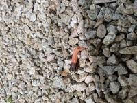 正体不明の植物?生き物?  家の庭で見つけたのですが、これが何だか分かる方いらっしゃいませんか。 長さ5センチ程度で、薄いピンク色の筒状のものが出てきており、先の方に黒い物が付いています。 家の庭の木の根元に5本ほどありました。  植物系かな?とは思うのですが、黒いところが昆虫の蛹のように見えて、正体がわかれば安心できるのですが、何となく気持ち悪くて…  分かる方いらっしゃれば...