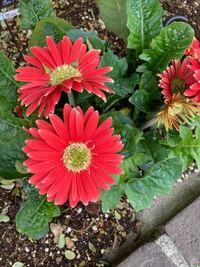 ガーベラに似ている花 年に何回も花を咲かせます。 状況を説明すると花屋さんはガーベラではないとのですが、調べても分かりませんでした。 ご存知の方はいらっしゃいませんか?