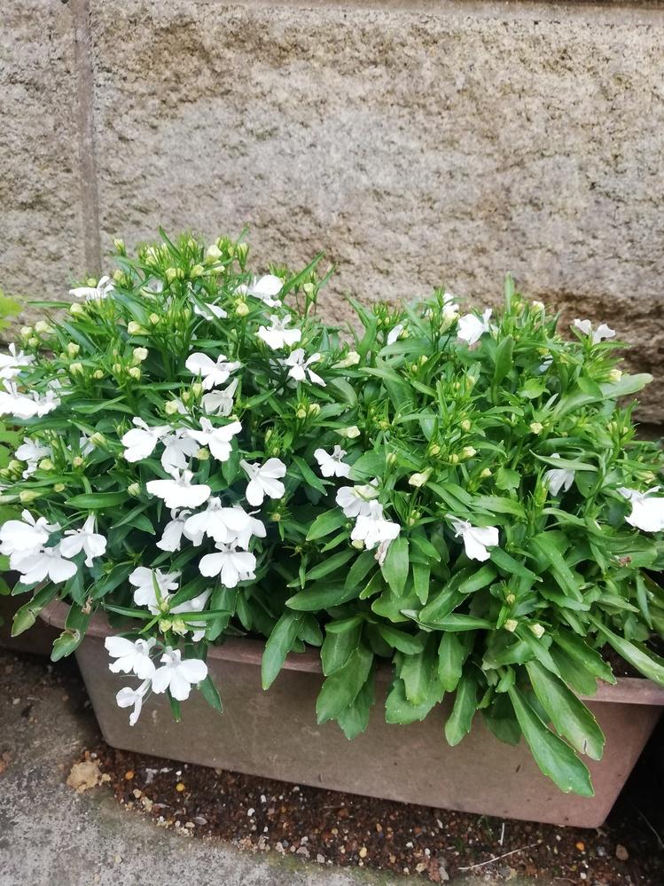 こちらの花の名前を教えて下さい 画像がきちんと貼れているか確認が上手くいかず申し訳ないのですがご存知の方お願いします