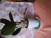 ミニカトレアの新芽がこのように横向きに出てそのままどんどん伸びてますがこのままにしてていいのかかき取って植え替えするのかご指導くださ い。
