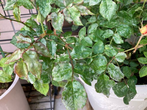 薔薇を育てているのですが、写真のように葉っぱが白くなってしまってどう対応していいかわかりません。゜(゜´Д`゜)゜。 どなたか元気な葉っぱに戻すにはどうしたらいいか教えて下さい! 品種はボレロです!