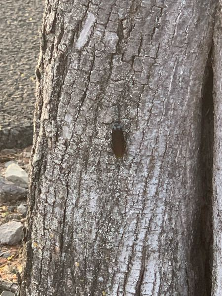 この虫はなんですか?? 父と犬の散歩をしてるときに見かけました。ゴキブリですか?ちなみに、宮城に住んでいます。