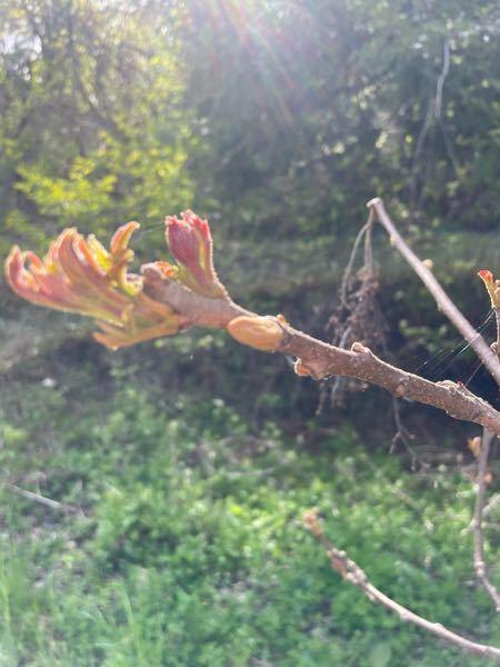 山菜取りに行きました。 タラの芽と思ったのですが、木に棘がなかったです。 これは何という植物ですか? 食べられますか?
