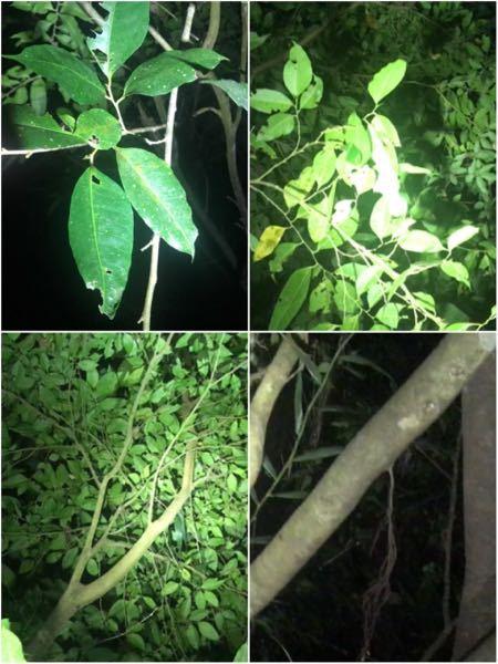 この木の名前をご存知の方宜しく お願い致します。幹は細く白くスベスベしてる感じで蟻がたかってました。場所は沖縄です。