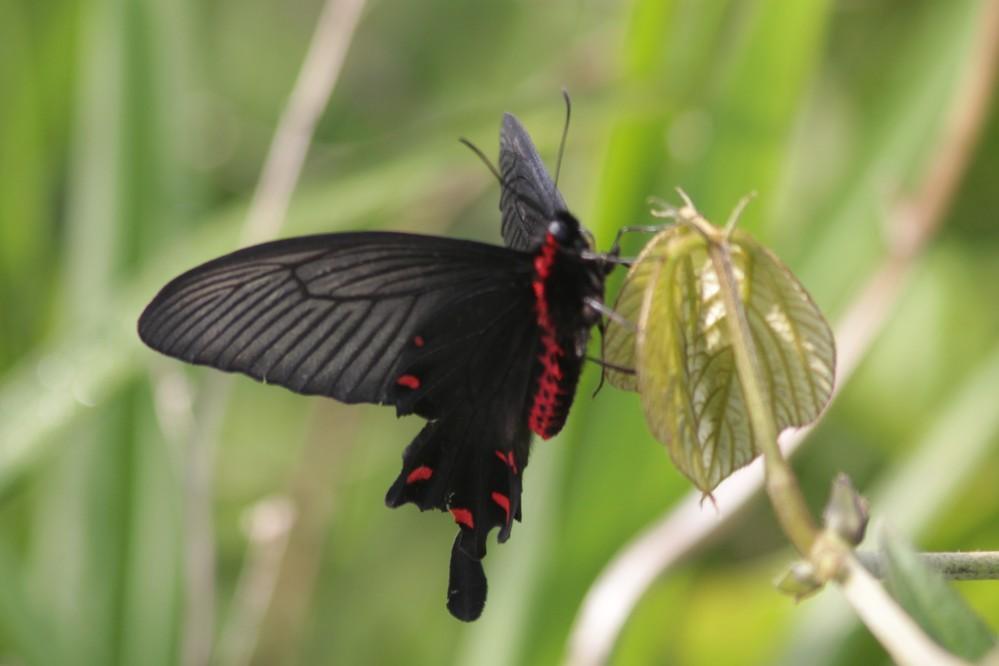 近頃、土手に黒いアゲハがたくさん飛んでいるのですが、何という種類ですか? 後翅と胴体横に赤い模様があります。写真に撮ると、翅の上面は白っぽく、下面は黒いようですが、すべてがそうなのか、雌雄の差でしょうか?