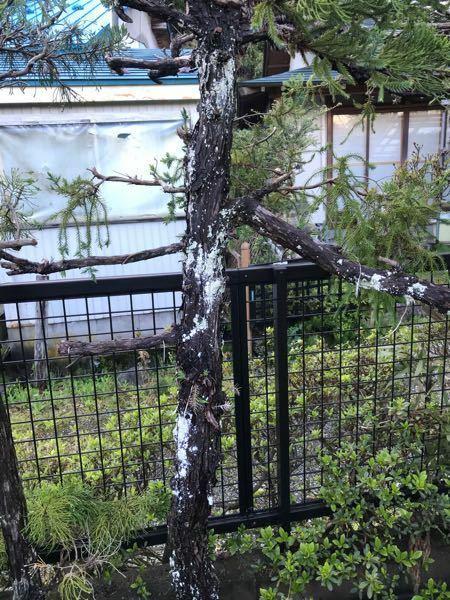 教えて下さい。 庭の垣根、杉の木に白いカビが発生しています。 病気ですか?放置していても良いのでしょうか?