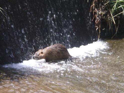 この動物の名前を教えてください。 5月4日大阪北部の山間の川、川幅約4mほどの地点で付近にはイノシシも時折出るといわれているところで、数年前から宅地開発が進んだところです。体長は60cm程で川の中で堰堤を登ろうとして、もがいてるところを写しました。口の立派なひげが印象的でした。