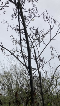 アオダモについて。 庭に植えてあるアオダモは5年ほど経って今年初めて花を咲かせました。 ですが花を咲かせたあとすぐに葉が枯れはじめ今は画像のような状態です。  この5年間は特に問題なく、今の時期は青々とした葉が出ていました。  何が原因で枯れたのか…  病気…害虫…水…  何か原因がわかるかた教えてください。  ちなみによく言われるカミキリムシではないようです。