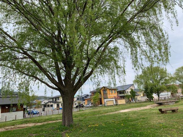 枝が垂れ下がっているようなこの木の名前を教えてください。