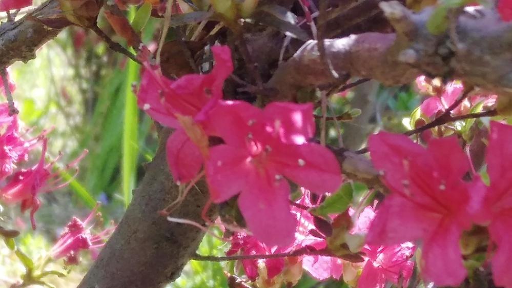 この花の木の名前わかりますか 公園の垣根で使われてました