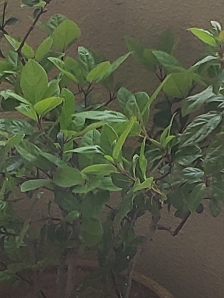 どなたかお詳しい方、この植物の名前を教えてくださいませんか?調べても調べてもわからずで困っています。 葉に産毛があり、過去には小さい黒い実がなっていた記憶があり。