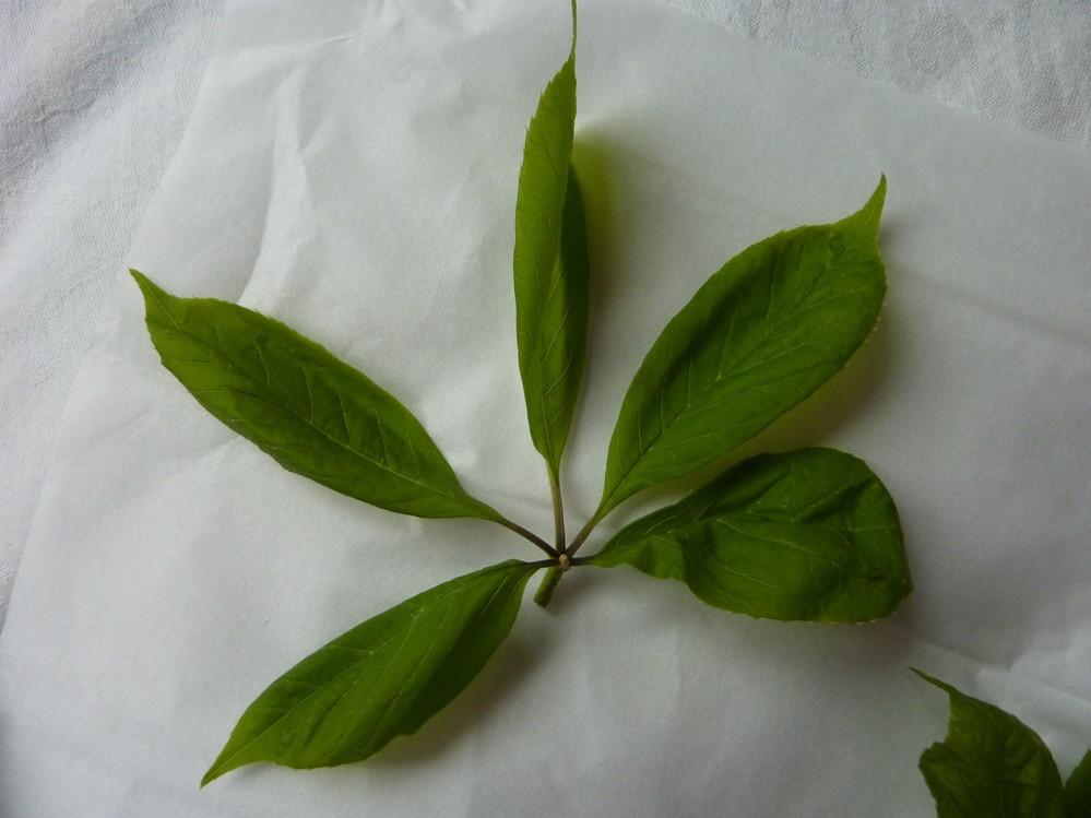 画像に掲載した山菜の名前を教えてください。 近所に住んでいる人から「山菜を採ったから食べて」と言われて色々な山菜をもらいました。 その中に画像に掲載した山菜があったのですが、この山菜の名前が分からないので教えてください。 画像に掲載したのは葉っぱの部分だけです。 この葉っぱの下には細長い茎があるのですが、茎は固そうなので葉っぱの部分だけ天ぷらにして食べようと思っています。