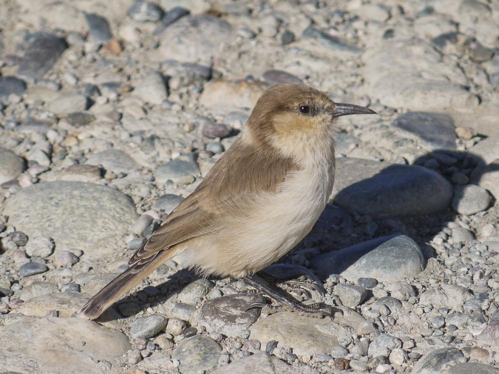 中国の山岳地帯で見かけた野鳥です。 画像で名前おわかりになる方、教えてください。 また、日本でも見ることができる鳥ですか?