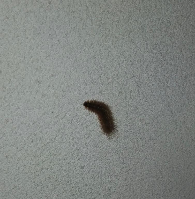 この毛虫の名前教えてください!