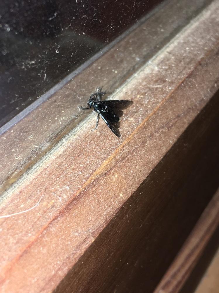 このハエに似た虫の名前を教えてください。 数日前から庭に発生してどんどん増えていってます。 対策をしようにも名前が分からなくって困ってます。 1匹捕獲して撮影しました。