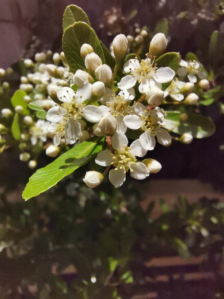この花?この木? これ、なんて名前でしょうか? 家の庭の片隅に、何だか太い雑草が生えたな・・・と、放置すること数年。 今年、ついに花が咲きました。 恐らく気付いてから5年以上10年未満。 高さ約2メートル 木の太さ約2cm 花の大きさ約1cm 所々にトゲが有ります。 これ、なんて名前でしょうか? よろしくお願いします。