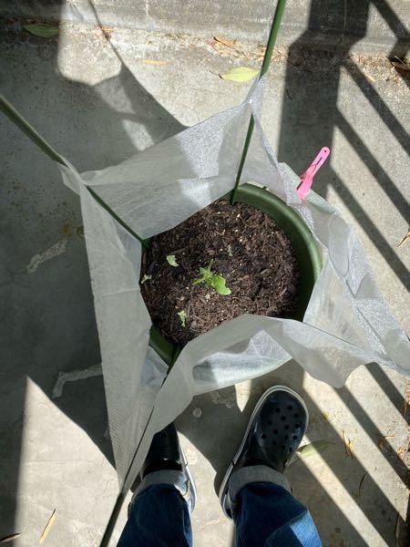 はじめて家庭菜園をはじめましたが… 植えて3日目で猫に葉っぱ食われました… これって無事に育ちますか?それとも新しい苗を買ってきたほうがよいでしょうか…? ちなみにきゅうりです。
