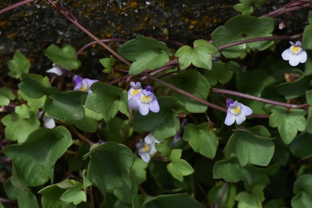 道路わきに咲いていたこの紫色の花の名前を教えてください。花の大きさは1センチ未満でした。よろしくお願いいたします。