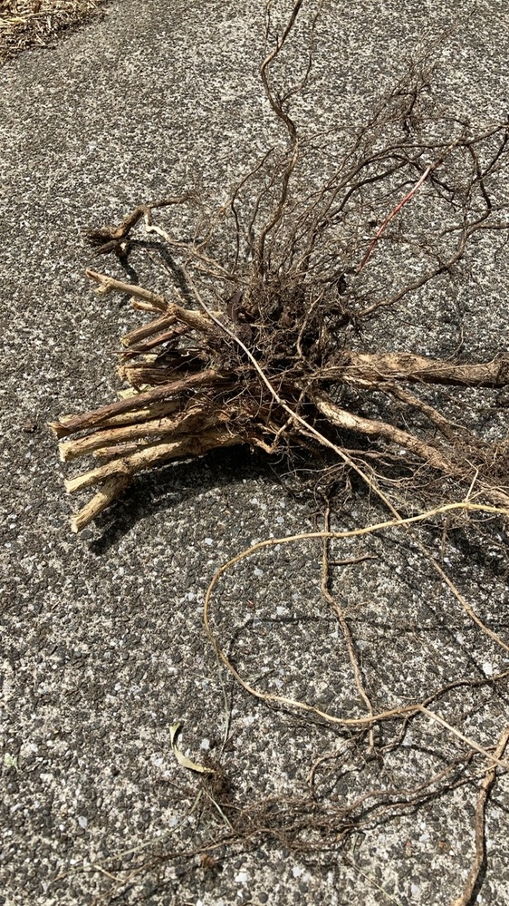 祖母の家にて業者へ草刈りを依頼したところ、庭に伐採された木のような跡がいくつもありました。 庭木は残されているので、雑草なのでしょうか? 庭中に細いものから太いものまで沢山あり、何か気になります。もしご存知の方がいらっしゃいましたら、草(木)の名前を教えてください。 掘り起こした写真も参考になりましたら。 どうぞよろしくお願いいたします。