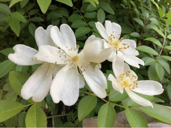 この花の名前を教えてください。 4月25日に咲いていました。