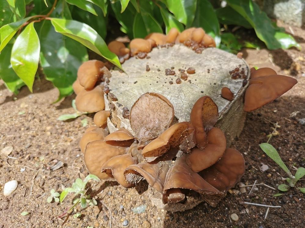 庭のきりかぶに写真のようなキノコが生えてました。 なんと言うキノコか教えて頂けますか?