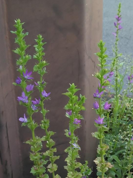 これは何という花ですか?紫で可愛いです。国道沿いにたくさん咲いていました。とても背が高いです。