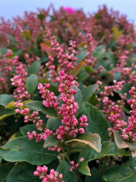 東吾妻山の山頂に植えているようにまとまって生えている赤い花の植物分かりますか? 葉はそこまで大きくなく、10㎝未満です。メイゲツソウてはないようです。