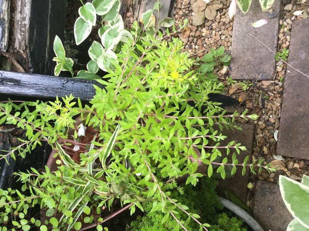 庭に勝手に生えて来るこの植物の名前は何というのでしょうか? すごい繁殖力でプランターからプランターへ毎年増えていきます。葉っぱも花もきれいです。