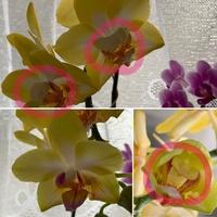 胡蝶蘭の花の中心の部位なんですけど、 大きいのと小さいのがありますが突然変異でしょうか?? 写真の左下がレモンパイの通常の花の型ですよね??新しく出る花茎で通常の花の型に戻りますか??  胡蝶蘭に詳しい人お願いします