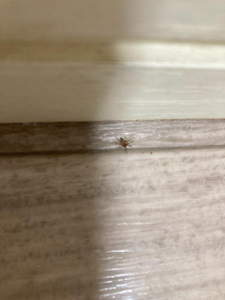 最近、朝掃除しているとコイツを頻繁に見かけます。 小さい蜘蛛のようですけど、何という蜘蛛なのでしょうか? 益虫でしょうか?害虫でしょうか? 毎日掃除はしているのですが、コイツが発生する原因はありますか?